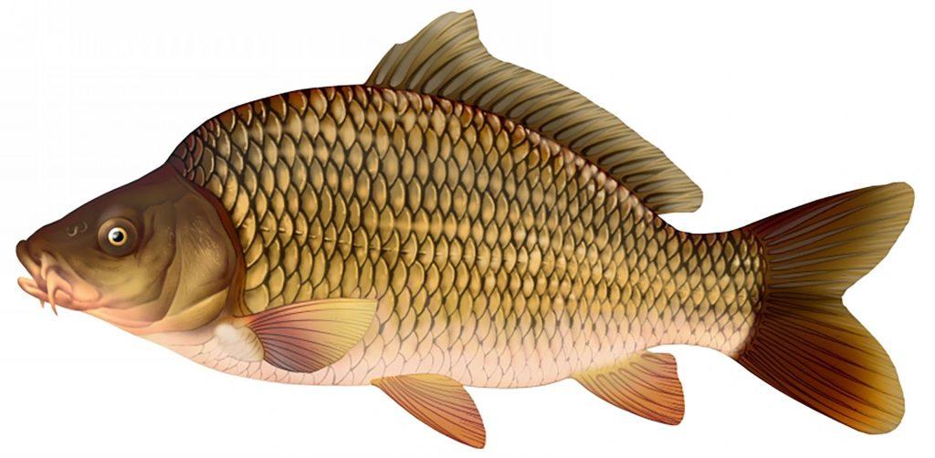 sezonul de pescuit si prohibitie crapul de delta