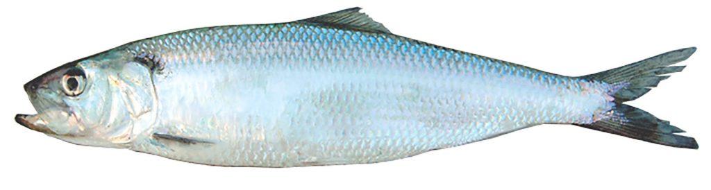sezonul de pescuit 2019 scrumbia de Dunare