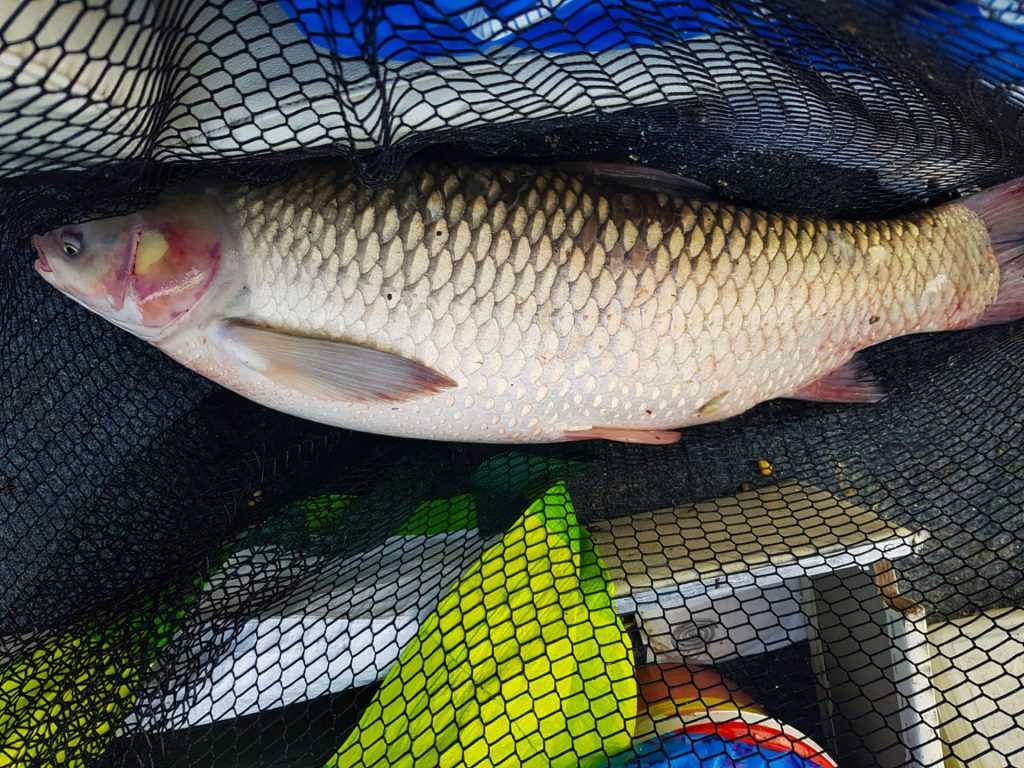 amur pescuit in Dunare