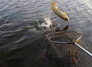 captura pescuit la rapitor