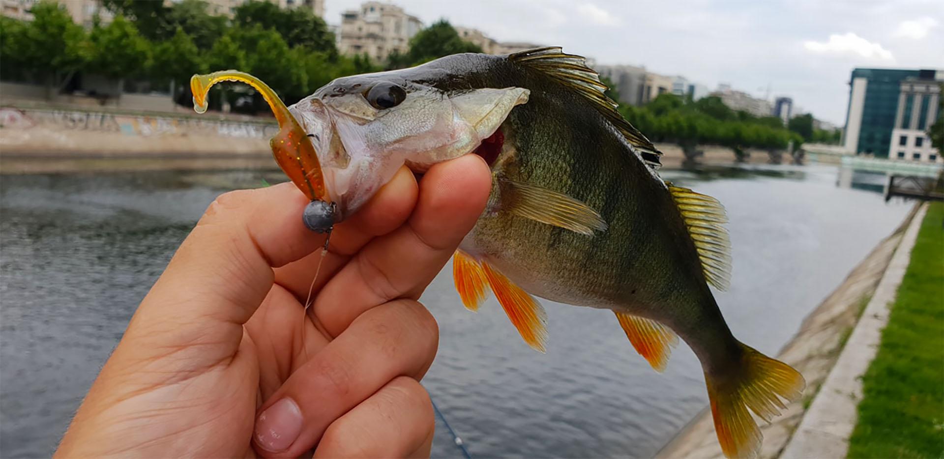 pescuit la biban doiyo neiru tail