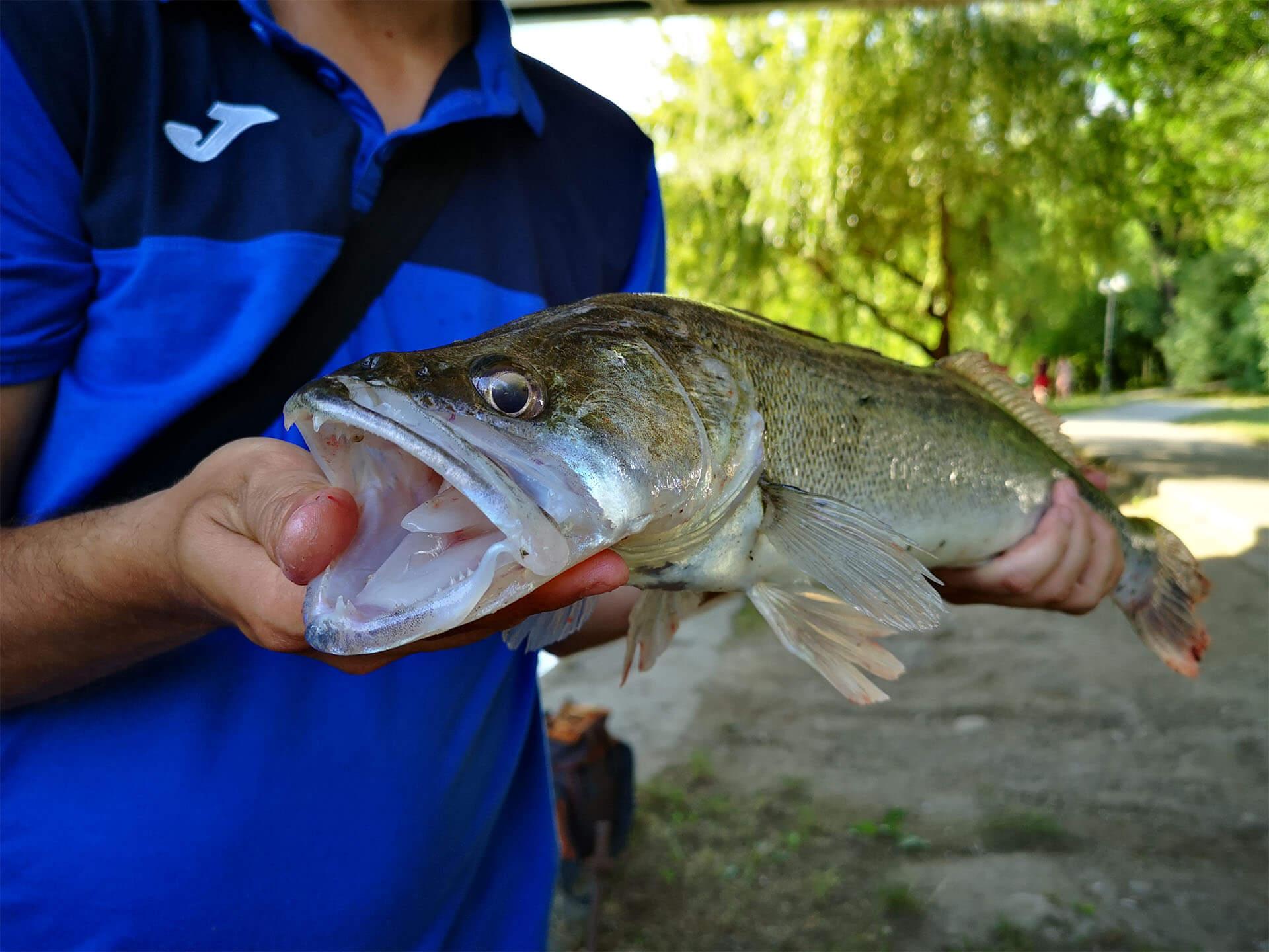 captura specii de pesti rapitori - salau